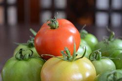 Незрелые помидоры ядовиты
