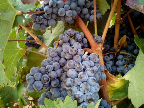 Вино - польза и вред