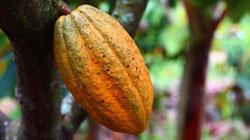 kakao-polezno