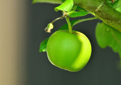 5. Яблоки