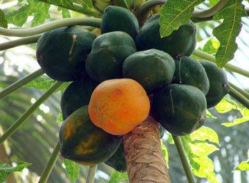 Этот тропический фрукт, родом из Центральной Америки