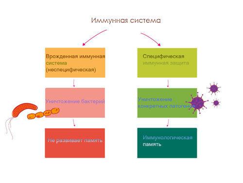Иммунная система. Функции
