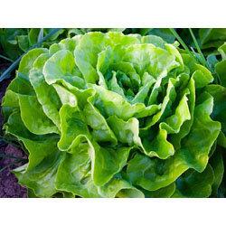 7. салат  латук