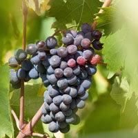 темный виноград  2