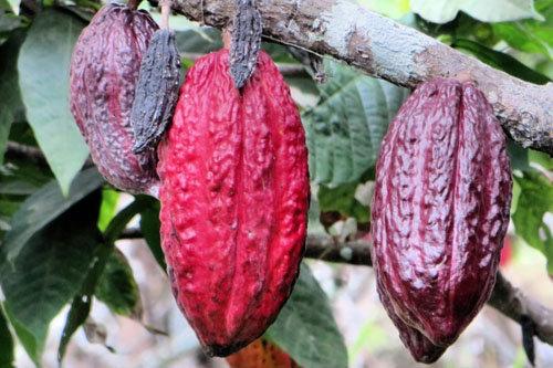 Какао - польза и рецепты ацтеков