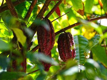 Какао уже много веков пользуется спросом