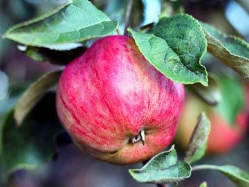 Волокна в яблоках делают вас сытым