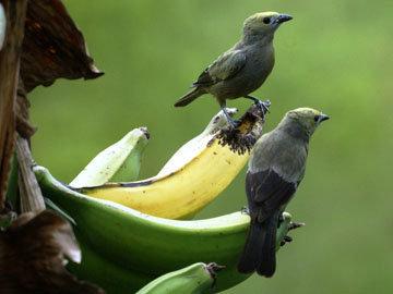 название банана было «Птицы рассказали это»