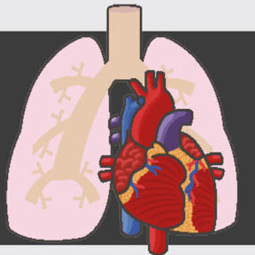Легкие освобождают место для сердца в организме